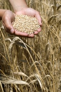 WHEAT IN MALE HANDS - © Kadir Barcin | iStockPhoto