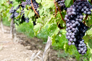 ITALIAN NEBBIOLO RED WINE GRAPES ON THE VINE #1 © Chiyacat | Dreamstime.com